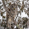 Barred Owl 6