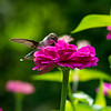 Ruby-throated Hummingbird 3