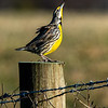 Eastern Meadowlark 2