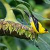 American goldfinch 8