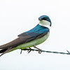 Tree swallow 10