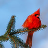 Northern Cardinal male 7