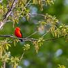 Scarlet tanager 1