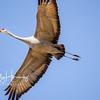 Sandhill Cranes 13