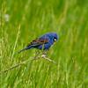 Blue grosbeak male 2