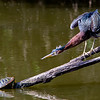 Green heron vs turtle
