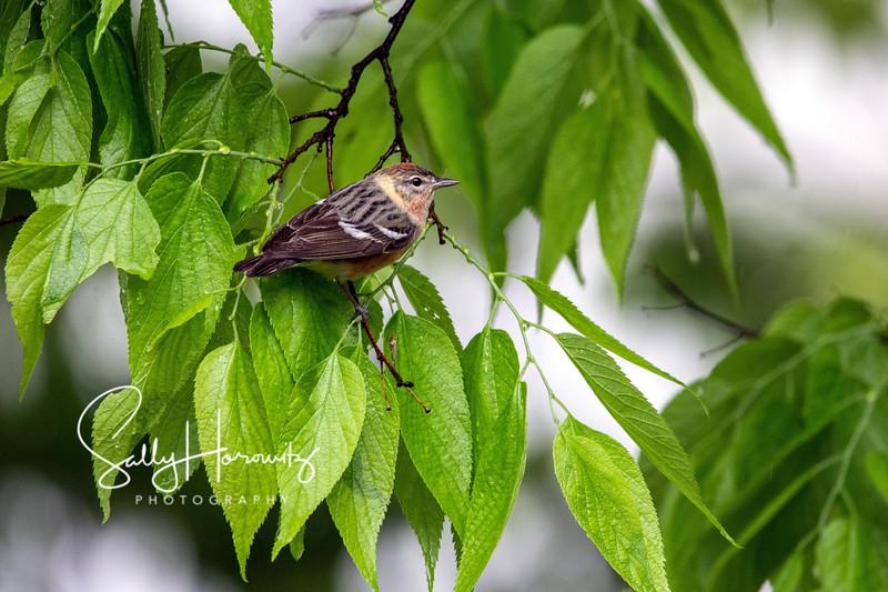 Bay breasted warbler female 1