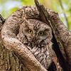 Eastern screech owl 11