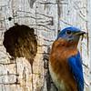 Bluebird male 4
