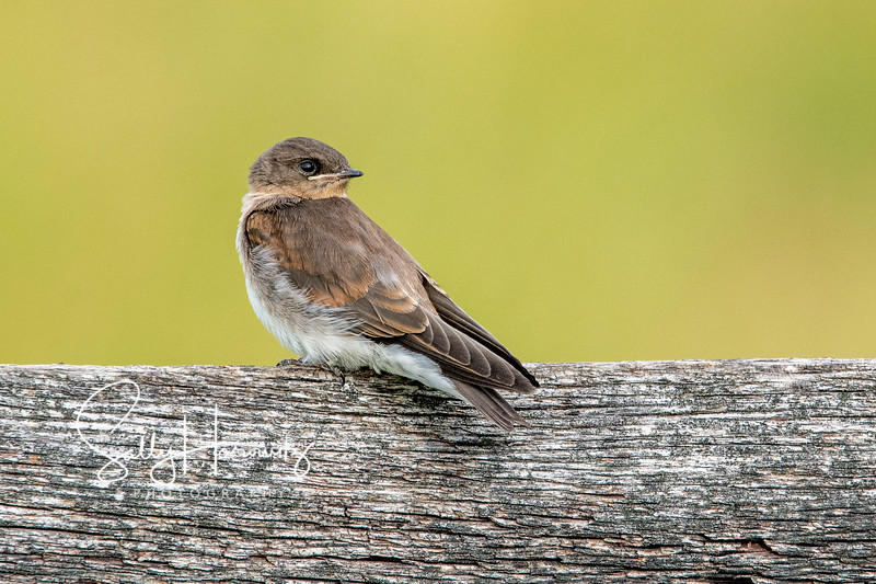 Northern Rough-winged Swallow juvenile