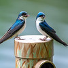 Tree swallow couple