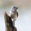 Tufted Titmouse 6