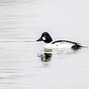 Common Goldeneye 5