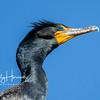 Cormorant 6