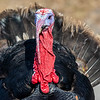 Turkey close-up
