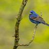 Blue grosbeak male 1