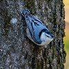 White breasted nuthatch 2
