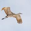Sandhill Crane 27