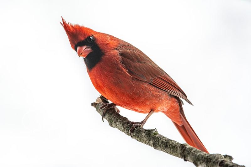 Northern Cardinal male 18