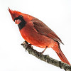 Northern Cardinal male 18