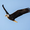 Bald eagle 14