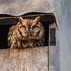 Eastern screech owl 4