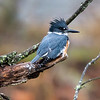 Belted kingfisher 10
