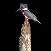 Belted kingfisher 7