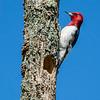 Redheaded woodpecker 3