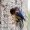 Bluebird male 7
