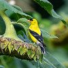 American goldfinch 7