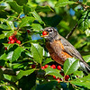 American robin 6