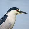 Black Crowned Night Heron (3)