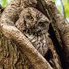 Eastern screech owl 10