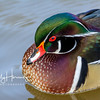 Male wood duck 5