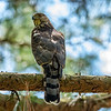 Cooper's Hawk female 2