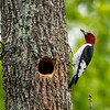 Redheaded woodpecker 4