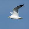 RIng-billed gull 3