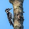 Hairy woodpecker  female 1