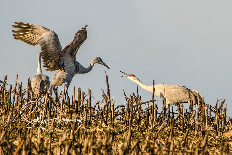 Sandhill Cranes 8