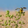 Eastern Meadowlark 6