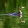Cormorant 8