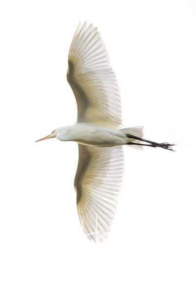 Cattle Egret 3