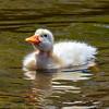 Pekin duckling 1