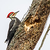 Pileated Woodpecker 8