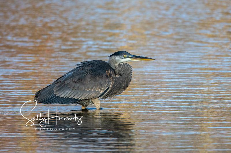Great blue heron 21