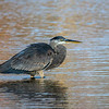 Great blue heron 21