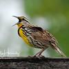 Eastern Meadowlark 1