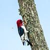 Redheaded woodpecker 5