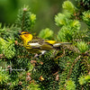 Cape May warbler 1